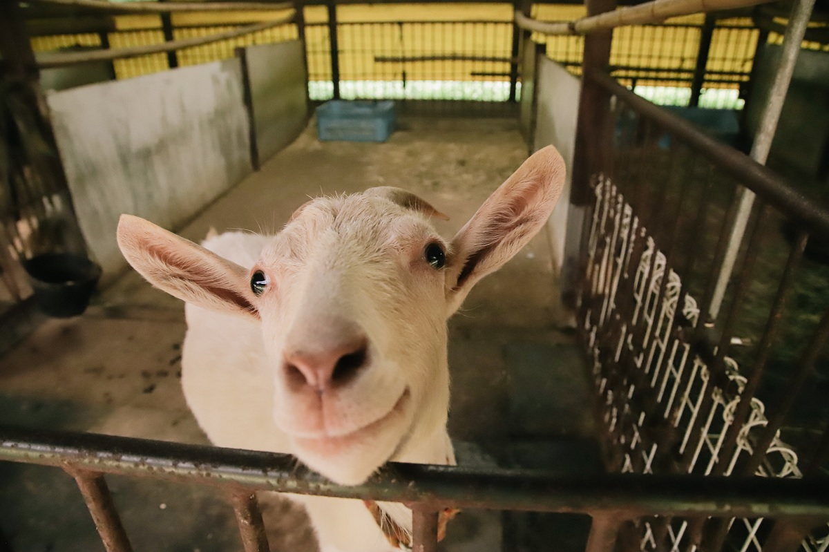 goat face photo