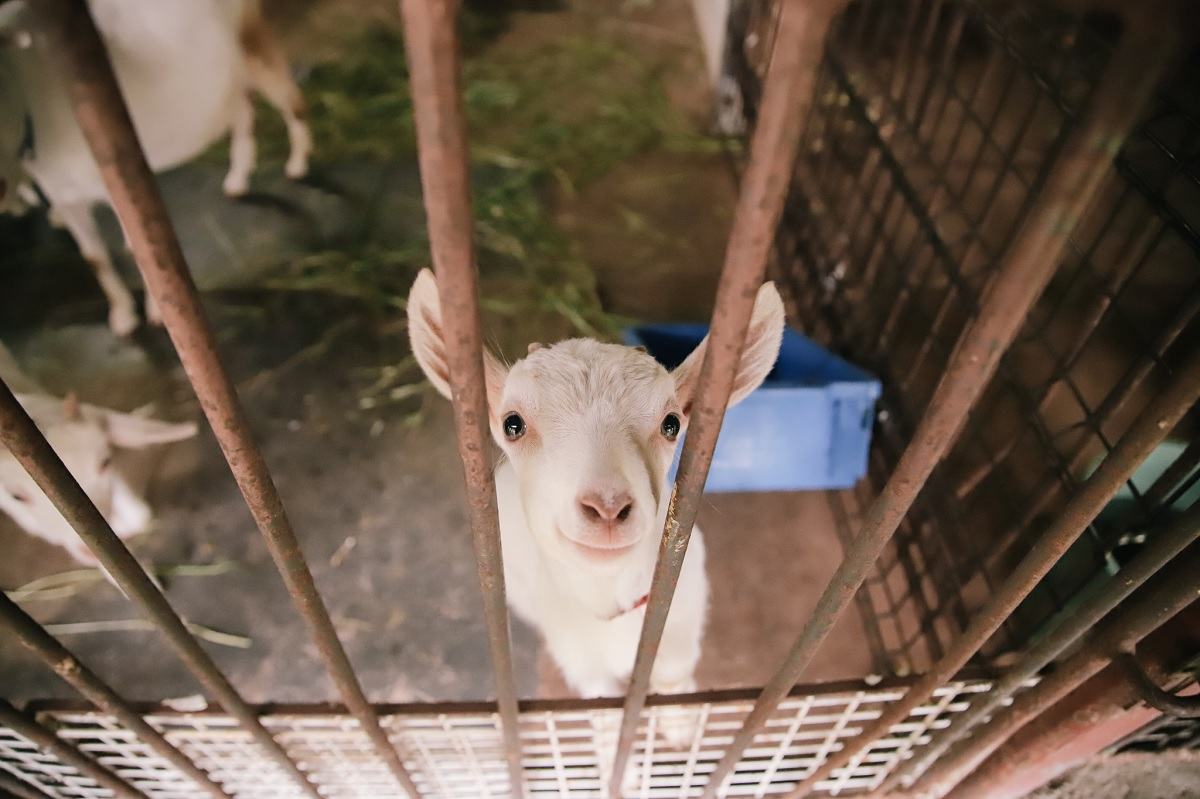 goat in the cage photo