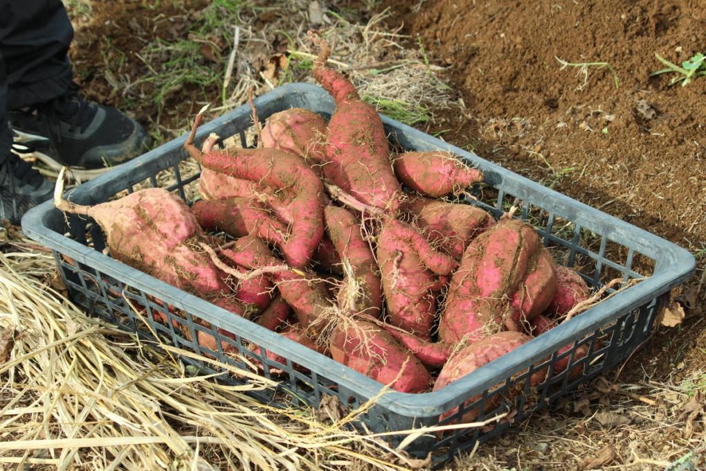 Harvested sweet potato photo